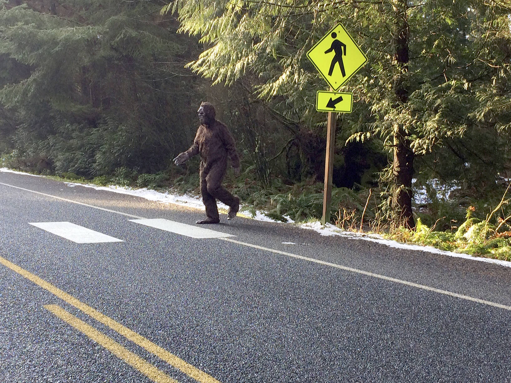 This Bigfoot-looking creature coming out of South Whidbey State Park was spotted by Maribeth Crandell of Island Transit Wednesday. The hairy being looked both ways and then used the crosswalk, she said.